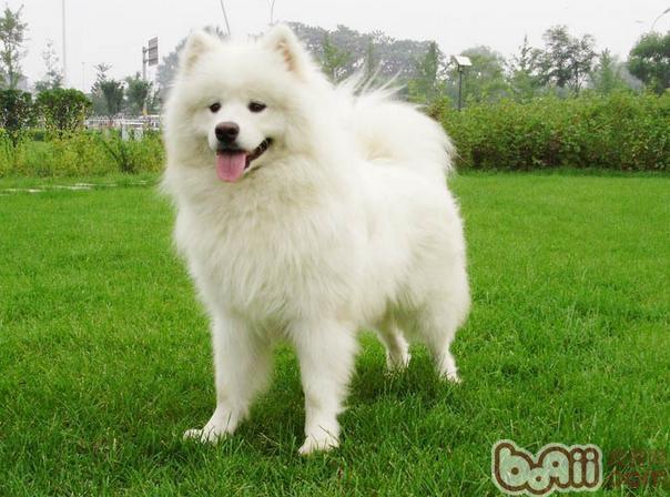 为什么公狗撒尿要抬起后腿呢-成犬饲养